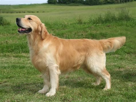 catcombe golden retrievers chiot elevage de la aux leux eleveur de chiens golden retriever et cockers