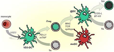 frontiers tolerogenic dendritic cells for frontiers regulatory multitasking of tolerogenic