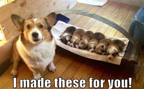 Best Corgi Memes (Part 4)   Corgi Dogs