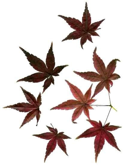 japanese maple leaf tattoo leaf japanese maple pencil and in color leaf