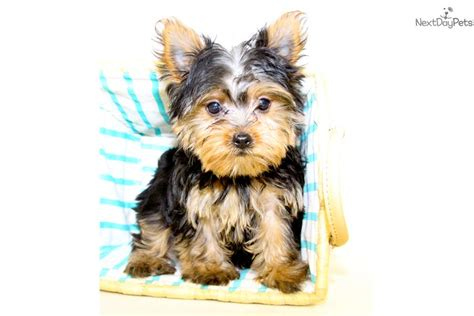 teacup yorkies for sale in columbus ohio teacup terrier puppies for sale in ohio picture breeds picture