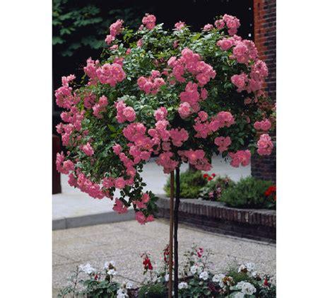 cottage farms roses cottage farms 36 quot pink drift patio tree m46643