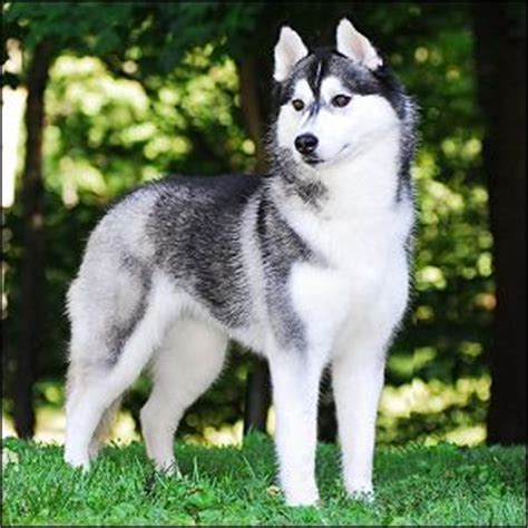 pomeranian siberian husky mix pomeranian husky mix everything you need to