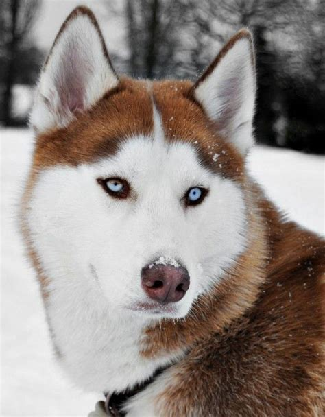 dogs like huskies 25 best ideas about husky on siberian husky husky puppies