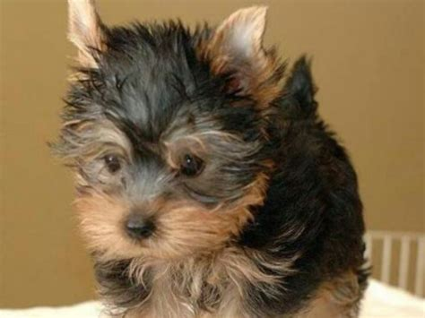 frontline for yorkies deaf teacup yorkie breeds picture