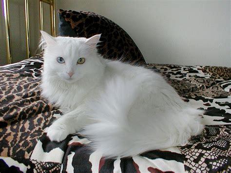 Harga Hewan harga kucing anggora turki hewan id