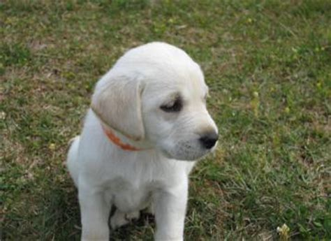 white lab puppies for sale in florida white yellow labrador retriever puppies for sale akc purebreed labs ga