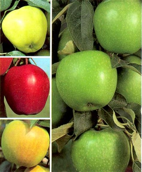 4 in one fruit trees grobe s nursery and garden centre newest fruit