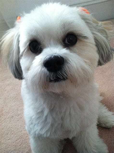 zuchon hair cuts bichon shih tzu so cute things i love pinterest