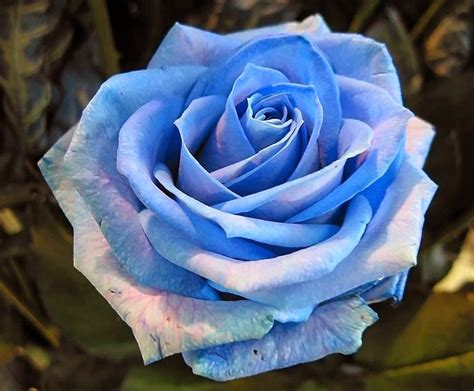 imagenes de rosas tiernas magenes y fotos de rosas tiernas imagenes tiernas