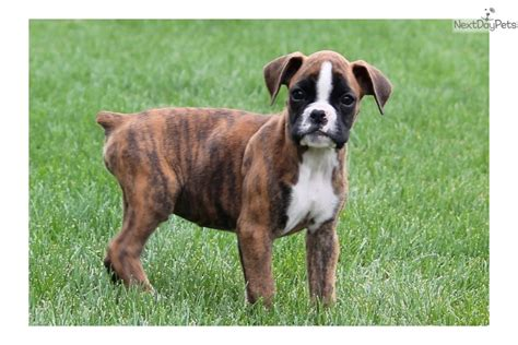 akc boxer puppies for sale near me boxer puppy for sale near lancaster pennsylvania 99fe5880 af41