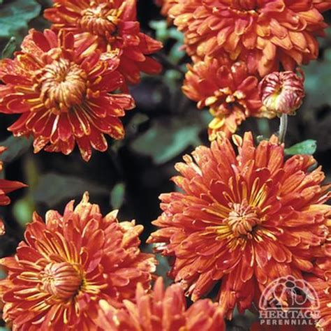 fall blooming plants zone 5 chrysanthemum fall blooming 1 ft x 1 5 ft sun us zone 2 ontario perennials