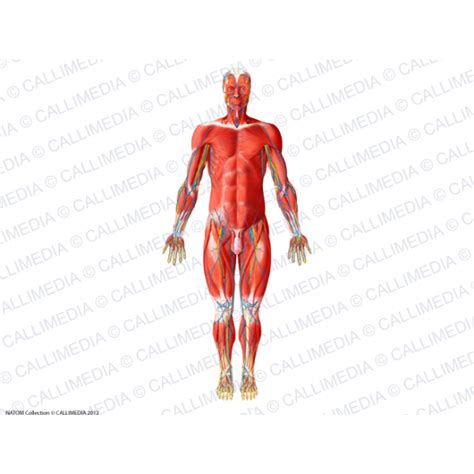 muscles of the anterior go search for tips