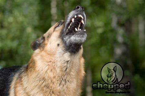 german shepherd barking german shepherd behavior problems shepped