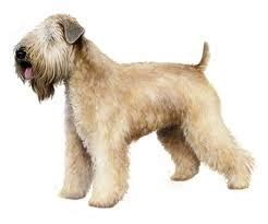 Soft Coated Wheaten Terrier Shedding by Hypoallergenic Breeds With Picture Comprehensive Breed Profiles