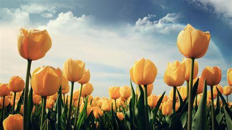 tulips flower wallpapers pixelstalknet