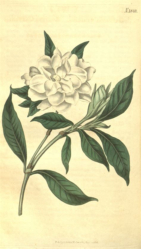 gardenia flower drawing archives pencil drawing collection