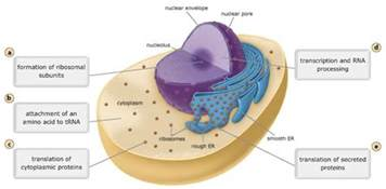 Break Letter Between Plant And Animal Cell locations of the processes involved in protein synthesis