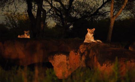 jungle animal night light animal kingdom s nighttime transition to take place
