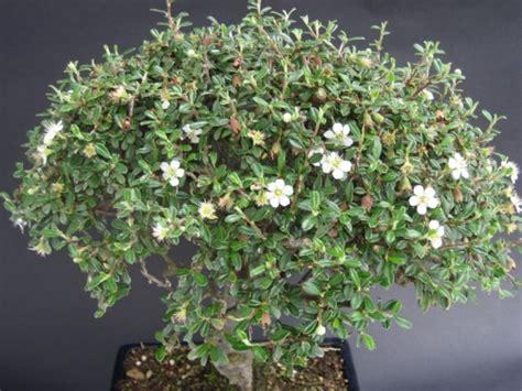 bonsai fiori bianchi bonsai di cotoneaster store bonsai iodice