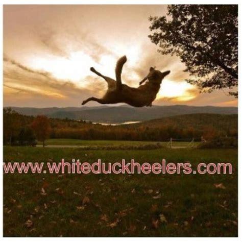 free puppies in scranton pa australian cattle blue heeler heeler breeders in pennsylvania freedoglistings