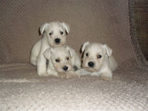 white schnauzer puppy white miniature schnauzer puppy sheffield south pets4homes