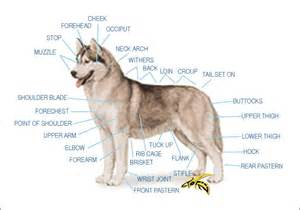 siberian husky characteristics about animals