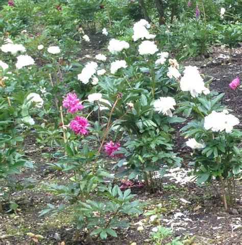 caring for tree peonies how to get the best from your herbaceous peony