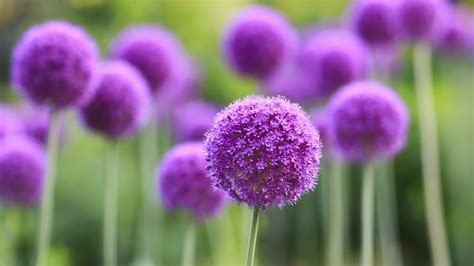 Allium Blumen Makro lila wallpaper   AllWallpaper.in #7904