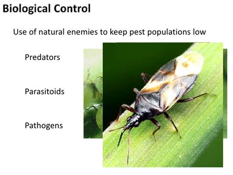 bed bug natural predators natural enemies for high tunnel production 2012