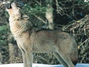 Wolf Wolf This Trail Captured The Eeriest Wolf Howl Listen And