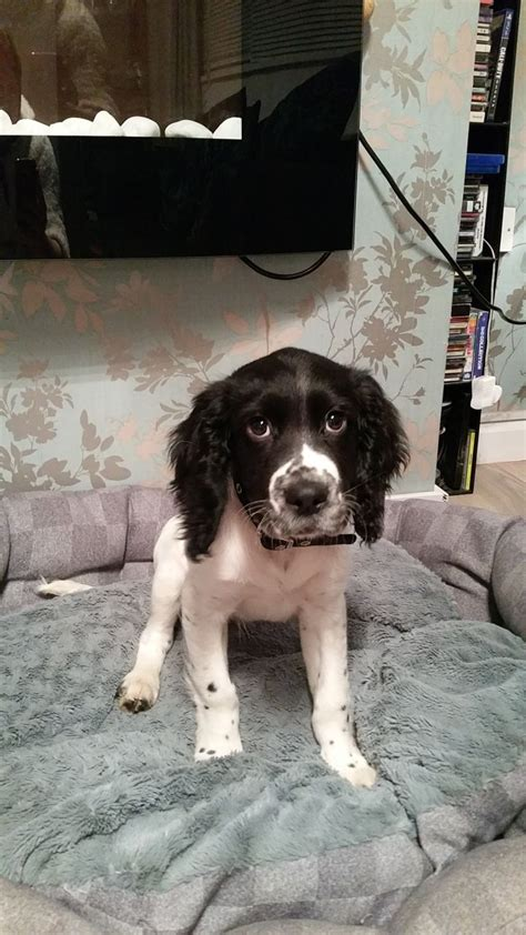 15 week puppy 15 week puppy for sale newton aycliffe county durham pets4homes