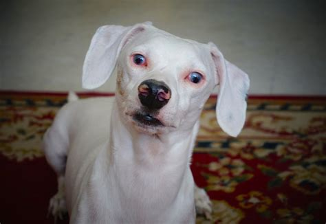 blindness in dogs 6 misconceptions about blind dogs petful
