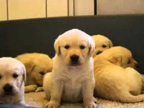 labra puppy labra feed home made urdu dr ashraf sahibzada wmv