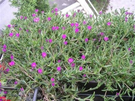 piante grasse fiorite da esterno piante grasse da balcone piante grasse