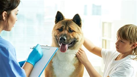 doxycycline dogs doxycycline for dogs uses dosage and side effects dogtime