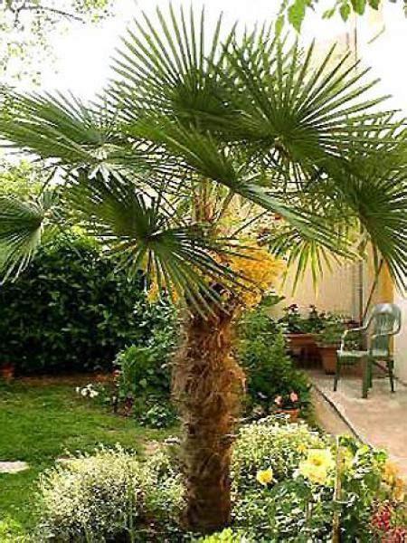 Chamaerops Excelsa Taille Adulte by Palmier De Chine Chamaerops Excelsa Le Jardin Du Pic Vert