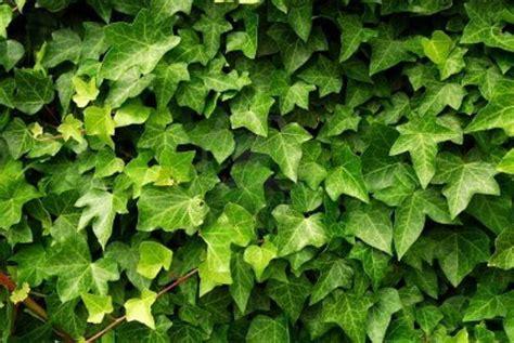 edera pianta da appartamento giardinaggio piante da giardino o piante da appartamento
