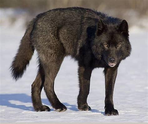 alaskan wolf ex county wolf 2 bears in alaska news lancasteronline