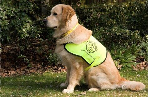 uk golden retriever rescue southern golden retriever rescue the golden retriever