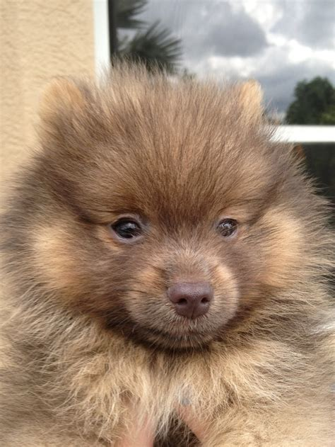 chocolate pomeranian puppy tiny chocolate pomeranian puppy animalsss