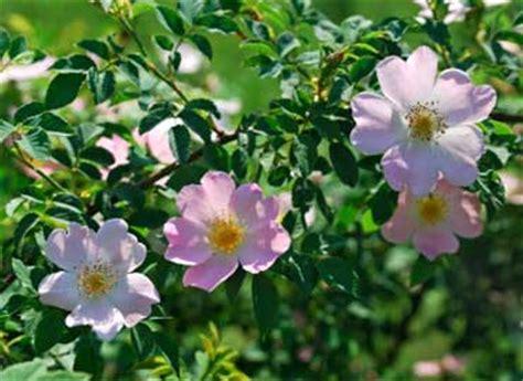 wild rose iowa state flower travel iowa usa iowa lesson with photos page 2