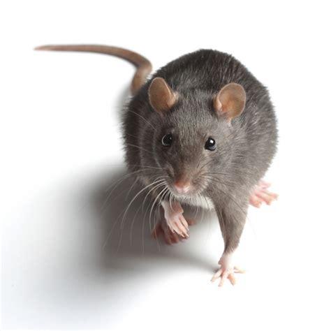 Bodypack Big Mice 1 0 Black ฝนน ระว ง โรคฉ หน สน ก เก บตก