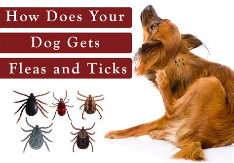 how do dogs get fleas how does your gets fleas and ticks bestvetcare