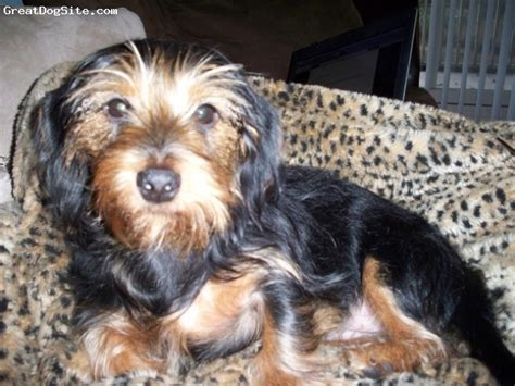 short haired dorkie mixes 31 best dorkie dashound yorkie mix images on pinterest