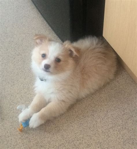 german spitz puppies for sale chihuahua and german spitz mix for sale dunmow essex pets4homes