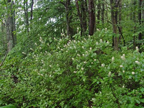maine natural areas program rare plant fact sheet for panax maine natural areas program rare plant fact sheet for