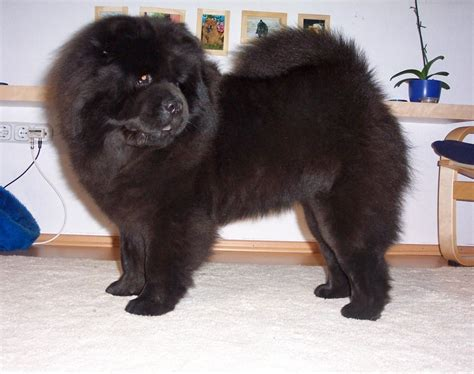 black chow puppy chow chow puppies chow chow kennel zung tzung le
