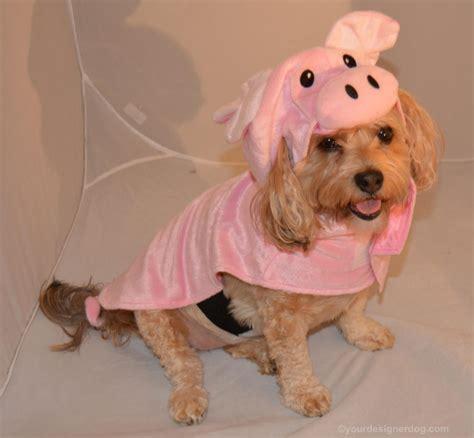 yorkie poo costumes pig yourdesignerdog
