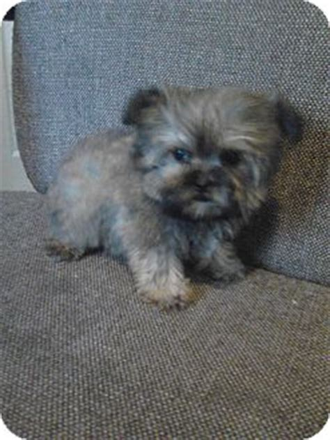 shih tzu terrier mix weight tiny tot adopted puppy mcminnville tn yorkie terrier shih tzu mix